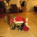 Hund Jupita Traber in Weihnachtsstimmung